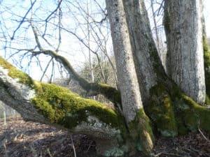 Dvietes palienes koki. Foto-Baiba Kranāte