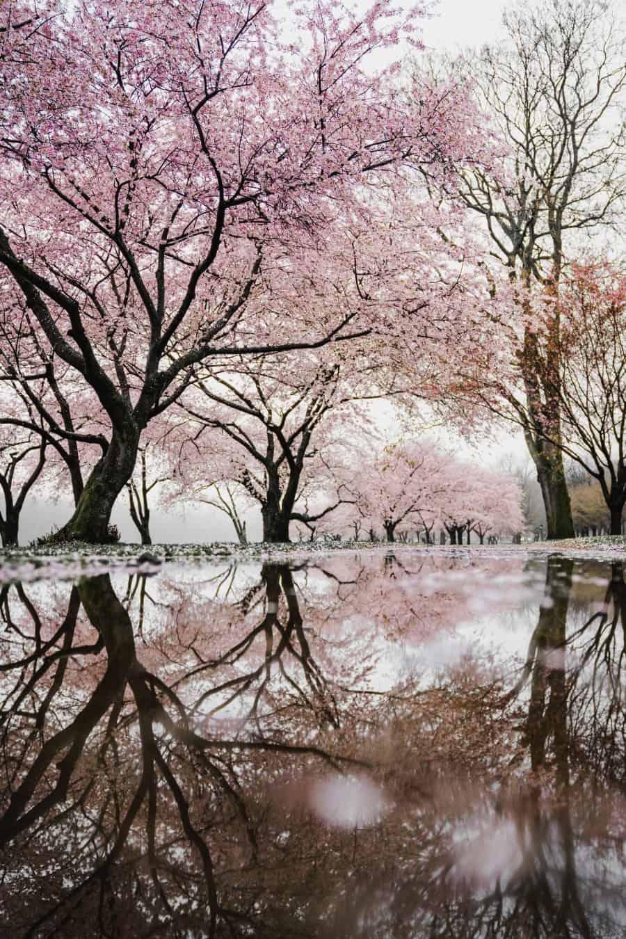 Foto unsplash.com Ķiršu koks Filadelfijā.